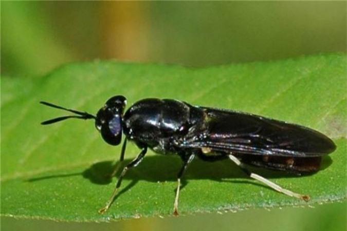Ruồi lính đen có thể được tìm thấy trong môi trường tự nhiên, chúng không gây hại như nhiều loài côn trùng khác mà đem lại nhiều lợi ích cho con người. Ruồi lính đen trưởng thành có màu đen, hai cánh dài che phủ toàn bộ phần lưng. Ruồi lính đen cái trưởng thành đẻ từ 500-800 trứng trước khi chết.