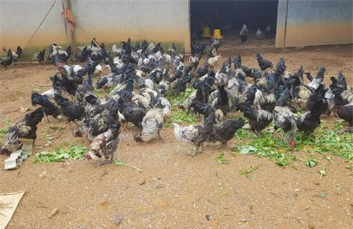 Yên Bái: Gà đen Mù Cang Chải, nuôi không đủ bán
