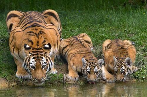 Là một kẻ săn mồi đỉnh, hổ vằn thường khiến nhiều loài động vật khác sợ hãi. Ngay cả con người, khi nhìn thấy hổ vằn cũng hoảng loạn, tìm cách trốn đi.