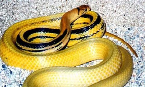 """Chi tiết loài rắn rồng """"khủng"""" dân bẫy được ở Sài Gòn"""