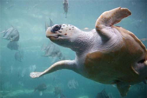 Điều bất ngờ về rùa Quản Đồng quý hiếm của Việt Nam