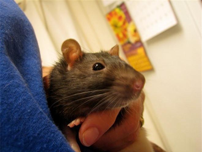 3. Bang nào ở Mỹ cấm người dân nuôi chuột? Chuột là thú cưng ở nhiều nơi nhưng không phải ở Montana, Mỹ. Thành phố Billings của bang này cấm người dân nuôi chuột. Khi phát hiện trường hợp có chuột trong nhà dân, cảnh sát phải cử người tới bắt.