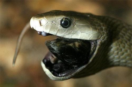 Mamba đen - rắn độc bậc nhất thế giới có biệt danh 'nụ hôn thần chết'