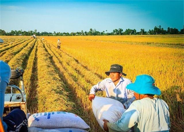Sản xuất lúa, gạo: Ứng dụng công nghệ để bảo quản, chế biến vẫn là khâu yếu nhất - 1