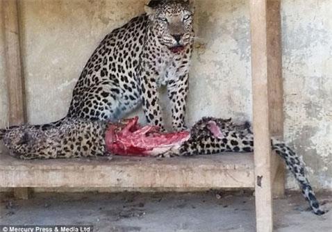 Kinh hoàng mãnh thú cắn xé nhau trong sở thú bỏ hoang