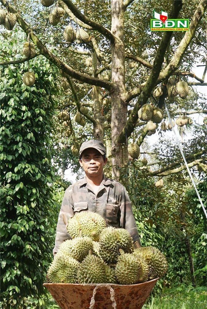 Chuyện lạ Đắk Nông, 36 cây sầu riêng thu 500 triệu đồng