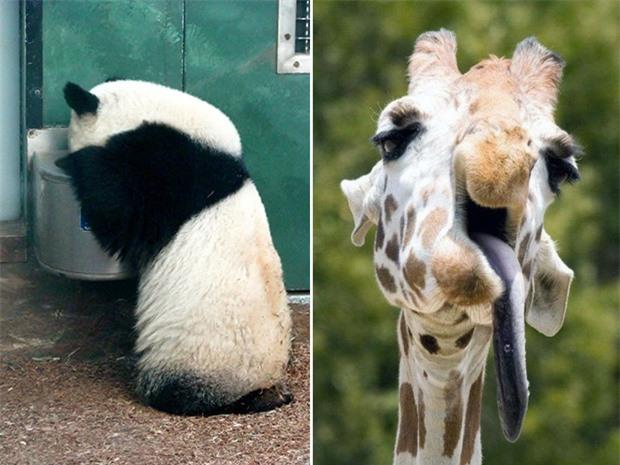 Tuyển tập những hình ảnh say xỉn bê tha giống hệt con người của mấy ông động vật hoang dã - Ảnh 9.