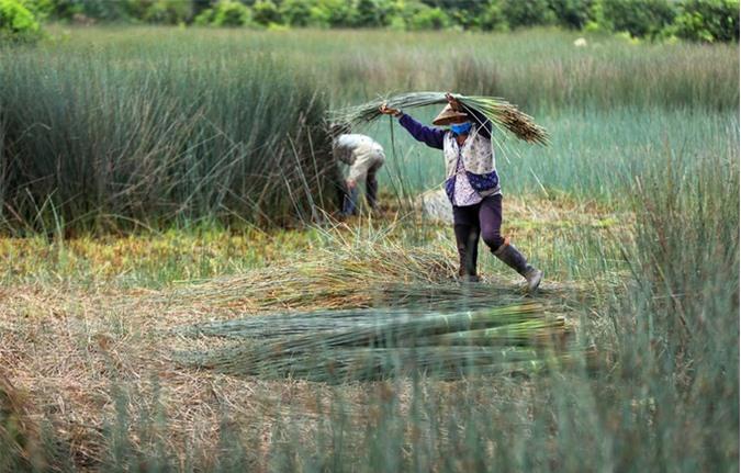 Mỗi ngày, từ sáng sớm, nhiều hộ dân ở xã Mỹ Hạnh Bắc (huyện Đức Hòa, Long An) - ngay cửa ngõ phía Tây Sài Gòn -  ra đồng cỏ bàng thu hoạch. Từng bó cỏ bàng được cắt chất thành đống trên đồng.