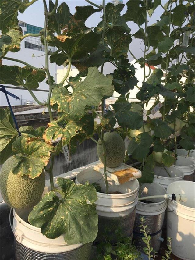 Trong số đó, ấn tượng nhất phải kể đến vườn dưa mật hoa được anh Thuyên trồng theo phương pháp bán thủy canh, cho quả sai trái, chất lượng ngon không kém dưa được bày bán trong cửa hàng.