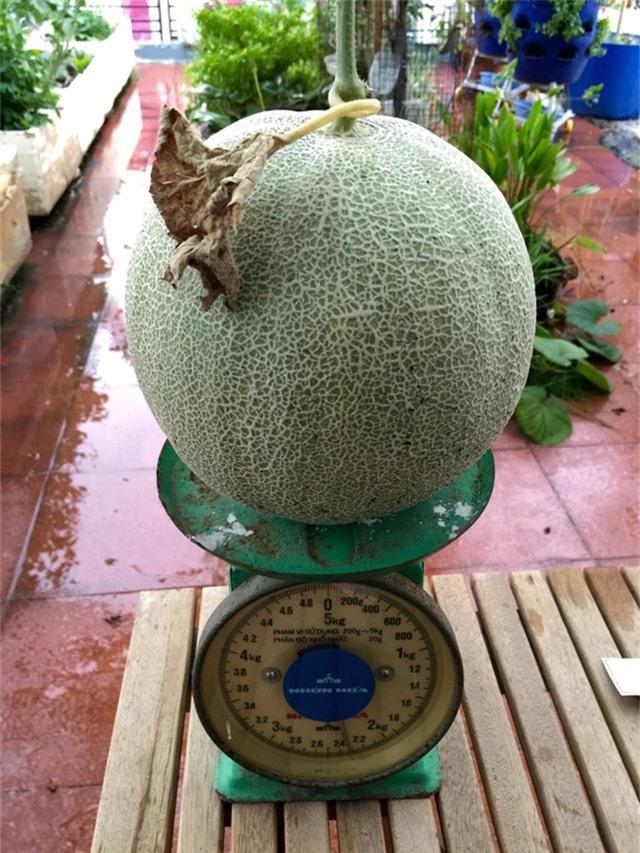 Một quả dưa mật hoa được thu hoạch tại vườn nhà anh Thuyên có cân nặng trên 2kg. Theo anh Thuyên, việc trồng dưa trên sân thượng không khó, điều quan trọng là phải chọn được giống dưa tốt, đặc biệt phải thường xuyên tưới nước, chăm sóc cây. Dưa Mật hoa là giống dưa ngắn ngày, chỉ từ 50 - 70 ngày là bắt đầu cho thu hoạch. Một năm, anh Thuyên trồng từ 2 – 3 vụ dưa, mỗi vụ thu hoạch khoảng 50kg dưa.