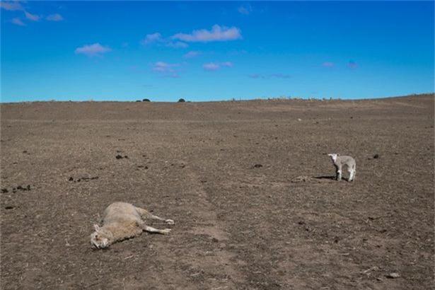 Gia súc chết do hạn hán tại đây là điều xảy ra thường ngày.