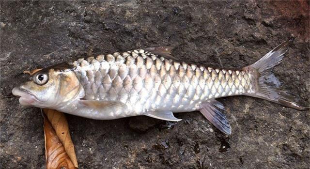 Cá Empurau là một loài cá đặc sản của Malaysia. Loài cá này có thịt ngọt mềm, béo thơm, da và lớp vảy cũng ăn được. Ảnh wikimedia.
