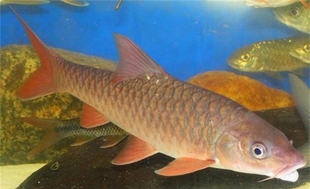 Cá Empurau thường sống ở các dòng suối có đáy đá, nước trong, chảy mạnh và ăn các bộ phận cây như lá, trái và hoa. Ảnh blogspot.