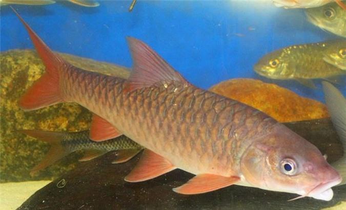 Cá Empurau.