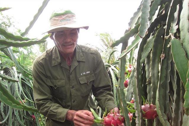 Nông dân trồng thanh long ở Tiền Giang. Ảnh: C.K.