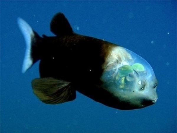 Đây là cá nòng, cá biển sâu nhỏ với đôi mắt hình thùng và đầu trong suốt