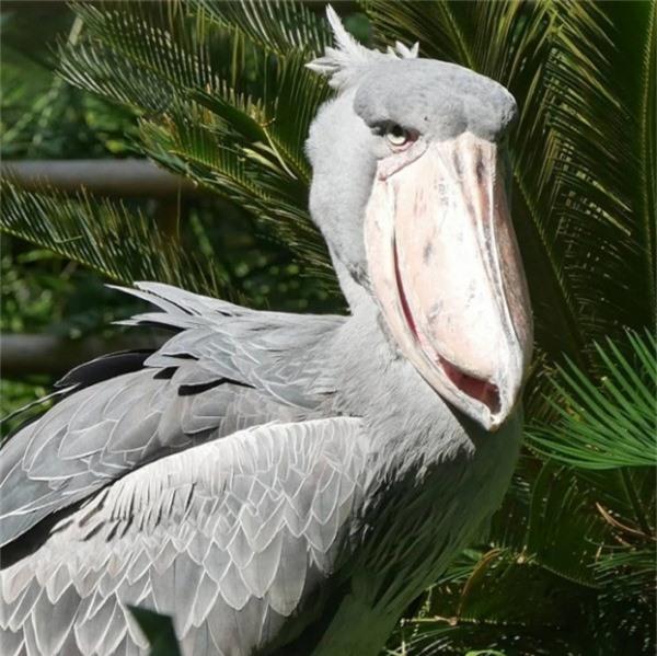 Một con chim trông khá lôi cuốn nhờ chiếc mỏ to lớn
