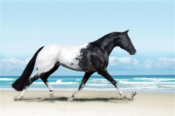 Một giống ngựa màu được gọi là Appaloosa là rất phổ biến ở Hoa Kỳ