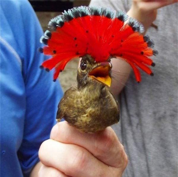 Flycatchers Hoàng gia với bộ lông ấn tượng