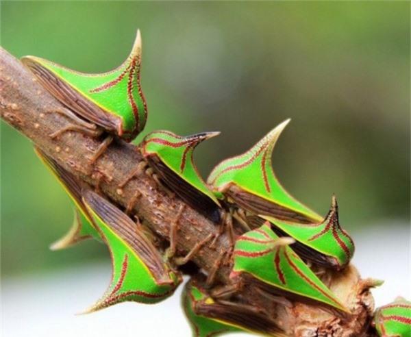 Một loài bọ nhảy màu sắc
