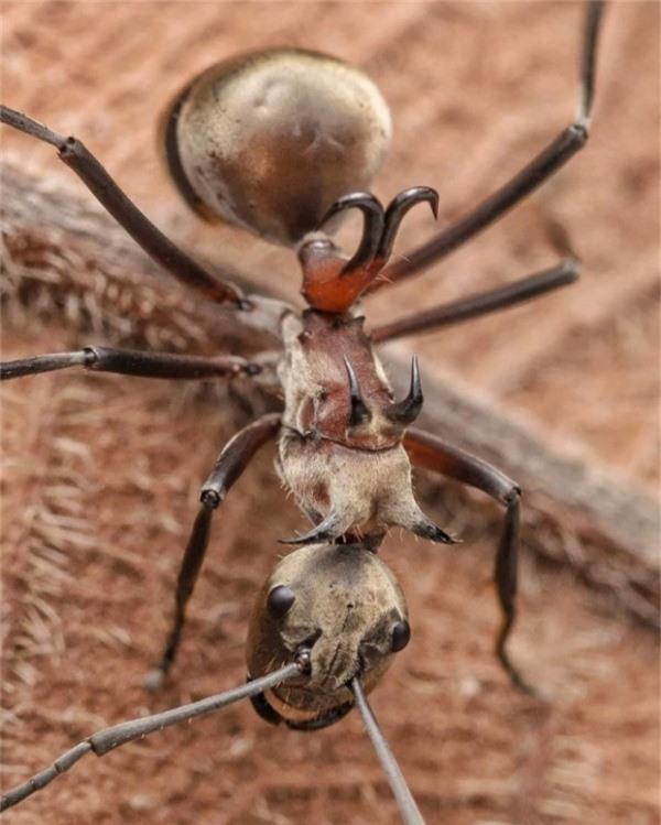 Loài kiến này là một sinh vật khá nguy hiểm. Móc trên lưng của nó dùng để tự vệ