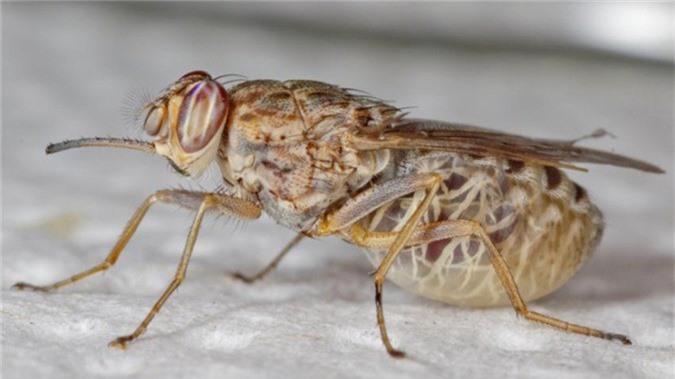 Muỗi (tên khoa học là Culicidae).