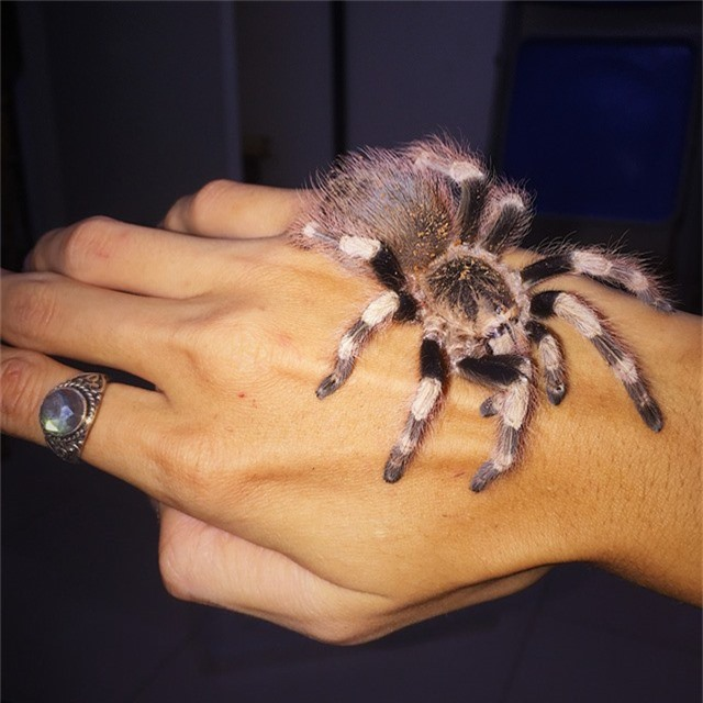 Trong số này, nhiều nhất là nhện khổng lồ với khoảng 20 con thuộc dòng Tarantula. Đây là loại nhện lớn, thân hình đầy lông và có xuất xứ từ Châu Mỹ. Theo Đăng Anh, nhện Tarantula được nuôi làm cảnh đều không có độc.