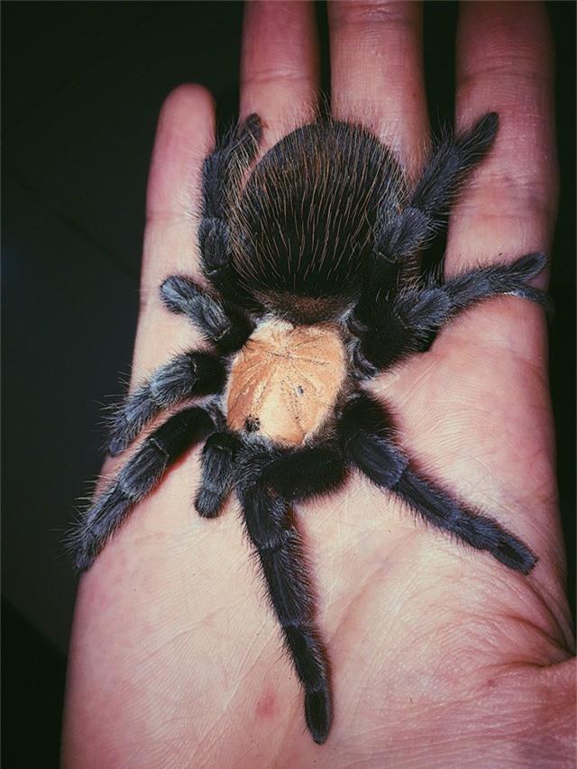 Một tuần, loài nhện khổng lồ này chỉ ăn một lần, thức ăn là các loại sâu, dế nhỏ. Trên thị trường giá của nhện Tarantula dao động từ vài trăm ngàn đến vài triệu đồng/ con, tùy theo size của mình.