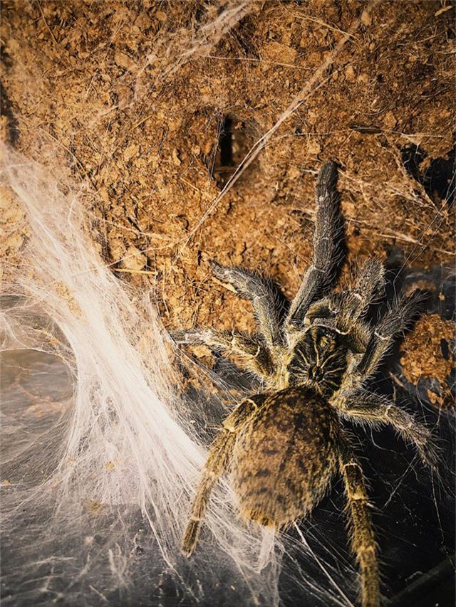 Các loại nhện được Đăng Anh nuôi trong các thùng có nắp đậy để đảm bảo chúng không di chuyển ra bên ngoài được. Đặc trưng của nhện Tarantula là sở hữu lớp lông mềm mịn bảo phủ bên ngoài toàn bộ cơ thể vừa để giữ ấm vừa giúp tự vệ. Khi cảm thấy có nguy hiểm chúng sẽ dùng chân quẹt lông ngứa để tung về phía kẻ thù. Nếu người chơi không có kinh nghiệm chăm sóc, xử lý để dính chiếc lông này vào người sẽ gây ảnh hưởng đến sức khỏe.