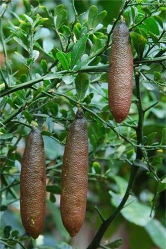 Tuy mức giá đắt đỏ là thế nhưng giới nhà giàu Việt vẫn tranh nhau đặt mua để ăn thử. Nguồn nhập hàng chủ yếu lấy từ Thái Lan, chỉ gần đây giống chanh ngón tay mới bắt đầu được trồng tại các nhà vườn ở Đà Lạt.