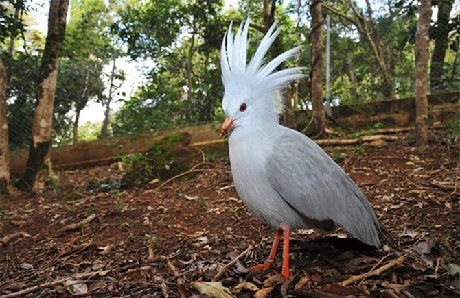 Chim Kagu có bộ lông màu xanh xám nhạt cùng với lông đầu cực kỳ đẹp và độc đáo.
