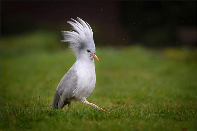 """Chim Kagu được người dân địa phương gọi là """"ma rừng""""."""