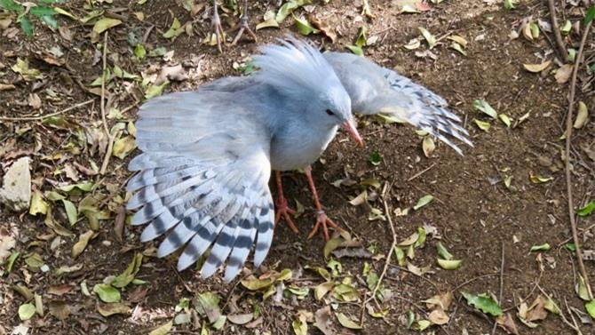 Vào mùa sinh sản, đôi chim Kagu cùng nhau ấp trứng.