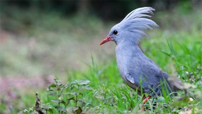 Bình thường, những chiếc lông trên đầu của chim Kagu xếp xuôi theo gáy, nhưng khi gặp bạn tình, túm lông trên đầu chúng dựng đứng lên.