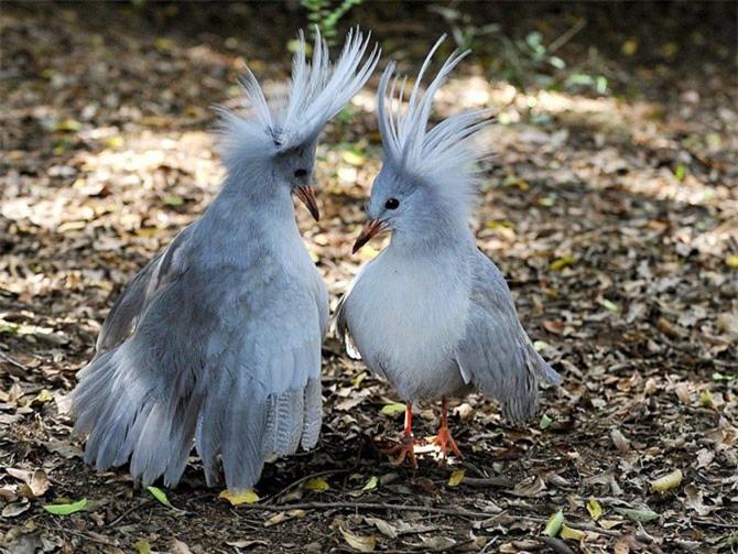 Nó là loài chim trong họ Rhynochetidae.