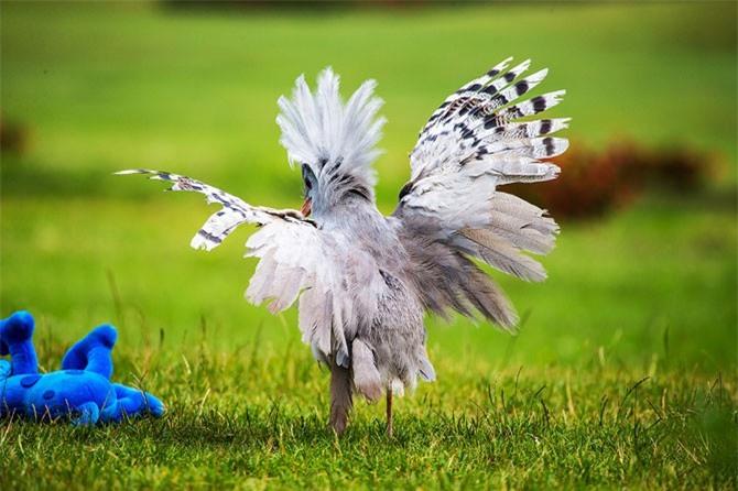 Điều đặc biệt, loài chim này không biết bay.