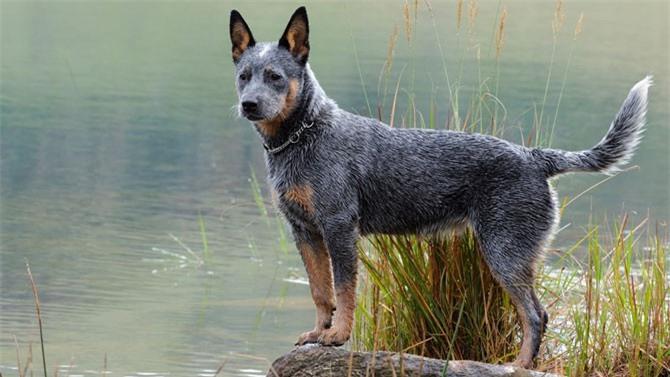 10. Chó gia súc Úc