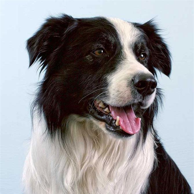 1. chó Collie biên giới