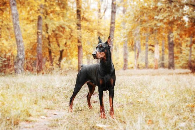 5. chó Doberman Pinscher