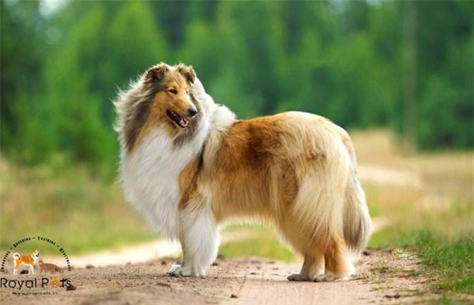 6.Chó chăn cừu Shetland