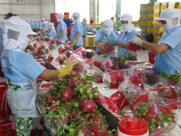 Sơ chế thanh long xuất khẩu ở Tiền Giang. (Ảnh: Minh Trí/TTXVN)