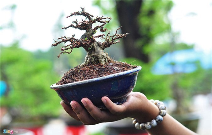 Goc vu sua ky quai gia 120 trieu o hoi thi bonsai hinh anh 3