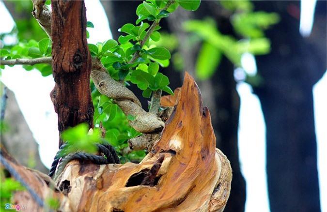 Goc vu sua ky quai gia 120 trieu o hoi thi bonsai hinh anh 8