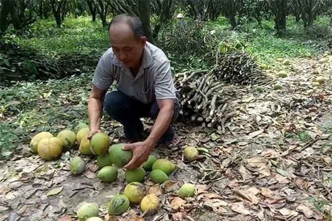 Nông dân trồng bưởi Năm Roi lao đao vì quả rụng quá nhiều.