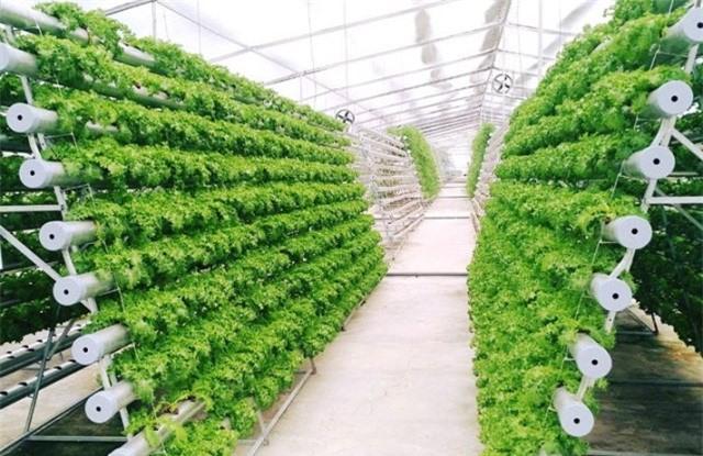Phần lớn rau ở Lâm Đồng được sản xuất với công nghệ cao để tăng năng xuất và chất lượng (ảnh VH)