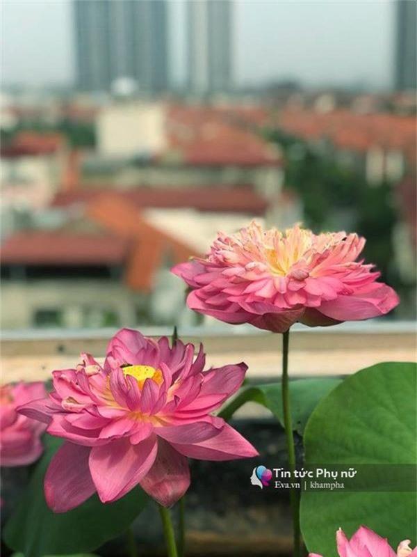 """Chuyển hàng tấn đất làm ao sen, trồng hồng trên sân thượng, mẹ HN xây """"thiên đường"""" phủ kín hoa - 11"""
