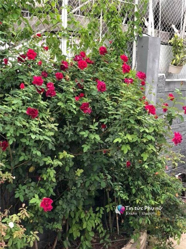 """Chuyển hàng tấn đất làm ao sen, trồng hồng trên sân thượng, mẹ HN xây """"thiên đường"""" phủ kín hoa - 15"""