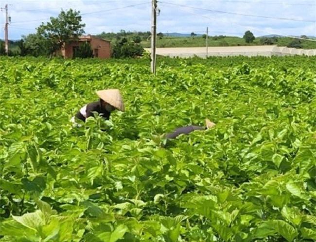 Để nghề trồng dâu nuôi tằm phát triển bền vững, trở lại thời hoàng kim, rất cần tiếng nói chung của 3 nhà: Nhà nước, nhà nông và nhà doanh nghiệp (Ảnh: VH)