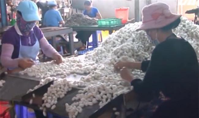 Nhiều doanh nghiệp, cơ sở ươm tơ tằm ở Lâm Đồng đang phải sản xuất cầm chừng vì càng làm càng lỗ (Ảnh: VH)