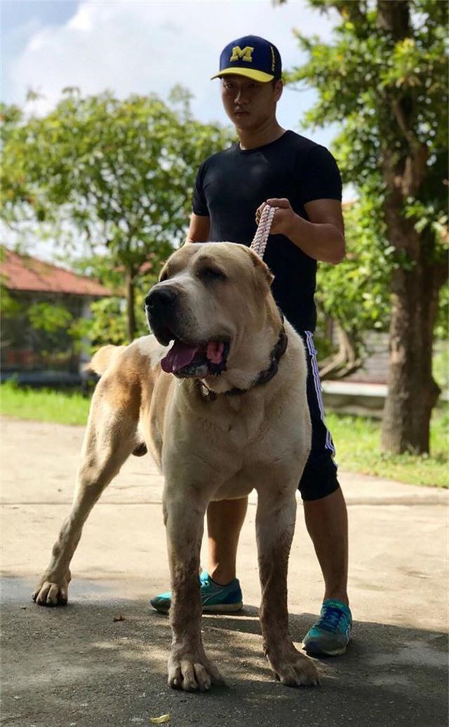 Chú chó Alabai có trọng lượng hơn 100kg.